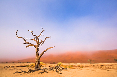 Ancient dead Camelthorn tree (Vachellia erioloba) trees with red dunes, Namib desert, Deadvlei, Sossusvlei, Namibia. August 2015.