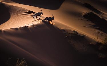 Gemsbok (Oryx gazella) two walking across sand dunes, aerial view. Namibia.