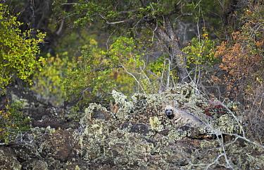 Striped hyena (Hyaena hyaena) in habitat, OlDonyo, Kenya.