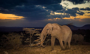 African elephant (Loxodonta africana) bull 'One Ton' with massive tusks at dusk, with another behind. Chyulu Hills, Kenya.