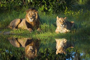 African lion (Panthera leo) male female pair reflected in water, Okavango Delta, Botswana