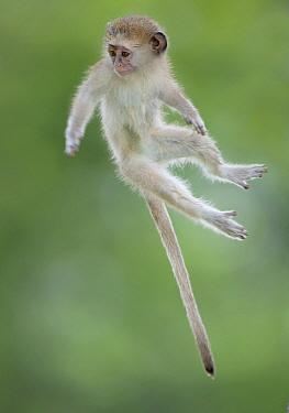 Vervet Monkey (Chlorocebus pygerythrus) baby jumping between branches, photographed mid air. Okavango Delta Botswana.