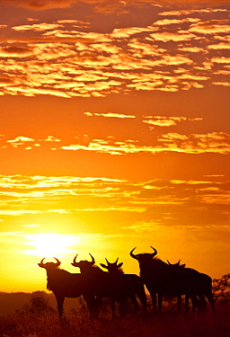Blue wildebeest (Connochaetes taurinus) herd silhouetted against the rising sun with clouds in the background. Greater Kruger National Park, South Africa