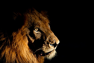 Lion (Panthera leo) male with scars photographed with side-lit spot light at night. Greater Kruger National Park, South Africa, April.