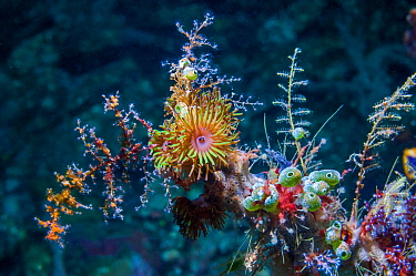 Colonial anemone (Amphianthus nitidus) and Green urn sea squirt (Didemnum molle) on a gorgonian branch.  Lembeh Strait, Sulawesi, Indonesia.