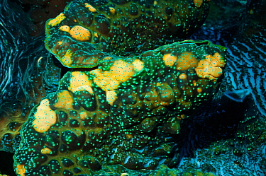 Detail of mantle of Giant giant clam (Tridacna gigas)  Colours come from symbiotic zooxanthellae in tissue,.  Indonesia.