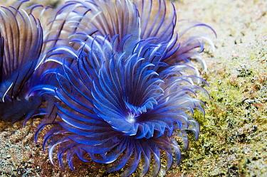 Fan worm - Sabella sp.  Lembeh Strait, Sulawesi, Indonesia.