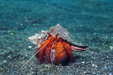White spotted hermit crab (Dardanus megistos) Lembeh Strait, Sulawesi, Indonesia.