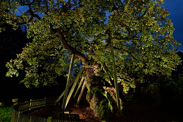 'Femeiche' the Court Tree at night, an ancient English oak (Quercus robur) used in the Middle ages as Vehmic or secret court  in the which judged and executed serious criminals. Erle, Germany,...