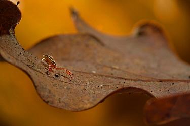 Pseudoscorpion  (Pseudoscorpionida) on fallen oak leaf. Niedersechsische Elbtalaue Biosphere Reserve, Elbe Valley, Lower Saxony, Germany