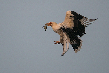 Palm-nut vulture (Gypohierax angolensis) carrying baby Green Turtle (Chelonia mydas) which has just emerged from the nest, Bijagos Islands, Guinea Bissau.