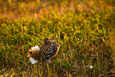 Male Great snipe (Gallinago media) displaying, showing white tail feathers, Troms, Norway, June.