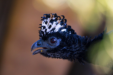 Bare-faced Curassow (Crax fasciolata) female profile portrait, Pantanal, Brazil.