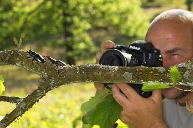 Nature photographer Solvin Zankl taking close up images of the Stag beetle (Lucanus cervus). Niedersachsische Elbtalaue Biosphere Reserve, Lower Saxonian Elbe Valley, Germany, June.