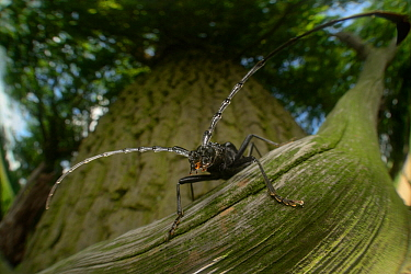 Great capricorn beetle (Cerambyx cerdo) on Oak tree (Quercus sp) Niedersachsische Elbtalaue Biosphere Reserve, Lower Saxonian Elbe Valley, Germany, July.