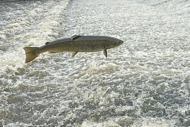 Atlantic salmon (Salmo salar) leaping a weir, Shrewsbury, River Severn, Shropshire, England, UK. November.