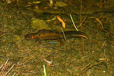 Great crested newt (Triturus cristatus) male in breeding condition on the edge of a pond, Shropshire, England, UK, May.