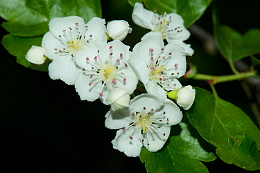 Midland hawthorn (Crataegus laevigata) in flower, Tiddesley Wood Nature Reserve, Worcestershire, UK, March.