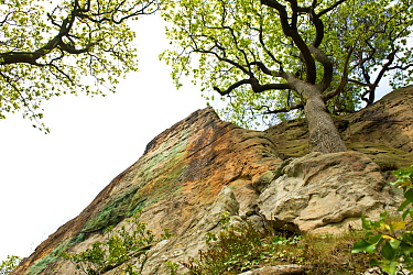 Oak (Quercus robur) growing on Triassic New Red Sandstone cliff of the Grinshill Sandstone, circa 250 million years old, Hawkstone Ridge, Hawkstone Follies, Shropshire, England, UK, May.