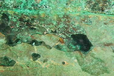 Copper stained rock caused by mineralisation which forms malachite, Grinshill Sandstone, Triassic New Red Sandstone Formation, circa 250 million years old, Hawkstone Ridge, Hawkstone Follies, Shropshi...