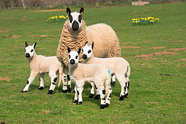 Kerry Hill sheep ewe with three lambs, Herefordshire, England, UK. April 2015,