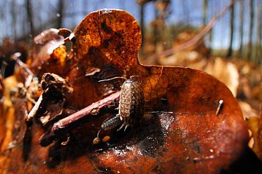 Woodlice (Ligidium hypnorum) on Oak tree (Quercus) leaf litter, Westensee, Kiel, Germany, April.