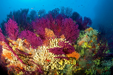 Red fan corals (Paramuricea clavata), Yellow gorgonian, (Eunicella cavolini) and Yellow cave-sponges (Aplysina cavernicola), Ischia Island, Italy, Tyrrhenian Sea, Mediterranean.