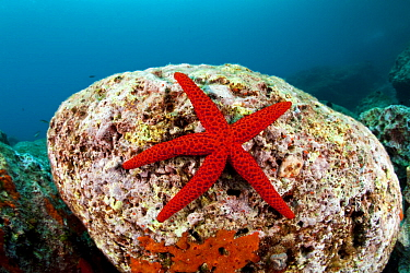 Red starfish (Echinaster sepositus) on a rock, Dubrovnik, Croatia, Adriatic Sea, Mediterranean.