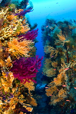 Red gorgonian coral (Lophogorgia chilensis) and Yellow gorgonian (Eunicella cavolini) growing in a rock crevice, Ponza Island, Italy, Tyrrhenian Sea, Mediterranean.
