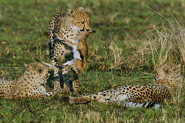 Cheetah (Acinonyx jubatus) cub aged 9 months carrying a newborn Thomson's gazelle Masaai (Eudorcas thomsonii) whilst others rest, Masai-Mara Game Reserve, Kenya. Vulnerable species.