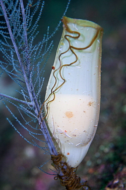 Carpet shark (Cephaloscyllium isabellum) egg attached to Black Coral (Antipathella fiordensis) in Dusky Sound, Fiordland National Park, New Zealand. April.