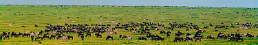Panoramic of short grass plains with mixed species grazing - wildebeest, zebra and gazelle - Serengeti NP, Ngorongoro Conservation Area, Tanzania, East Africa