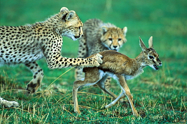 Cheetah (Acinonyx jubatus) young cub aged 6 months, hunting Thomson's gazelle fawn, (Eudorcas thomsonii) Masai-Mara Game Reserve, Kenya. Vulnerable species.