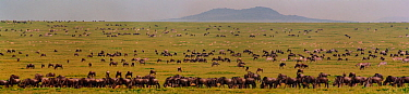Panoramic of short grass plains with mixed species - Wildebeest, Zebra and gazelles - grazing Serengeti NP, Ngorongoro Conservation Area, Tanzania, East Africa