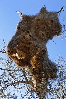 Nest colony of sociable weaver birds (Philetairus socius) Namib-Naukluft National Park, Namib desert, Namibia