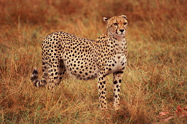 Female Cheetah, known as Kidogo, with stomach distended after feeding on Thomson's gazelle kill