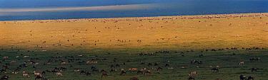Panoramic of short grass plains with mixed grazing herds - zebra, wildebeest and gazelle - Serengeti NP, Ngorongoro Conservation Area, Tanzania, East Africa
