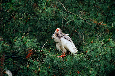 Crested ibis in conifer tree {Nipponia nippon} Shaanxi province, China. Endangered