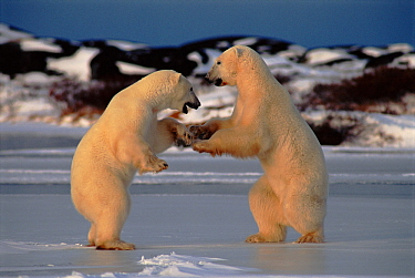 Polar bear males testing each other's strength, Churchill, Manitoba, Canada