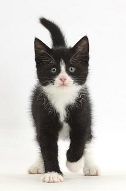 Black-and-white kitten, Solo, 6 weeks, walking.
