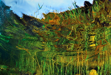 Aquatic plants in Lake Baikal, Chivyrkuy Bay, Zabaikalsky National Park, Siberia, Russia. September.