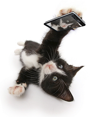 Black-and-white kitten, Solo, 6 weeks, 'taking a selfie'. Composite image.