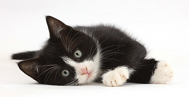 Black-and-white kitten, Solo, 7 weeks, lying on his side.