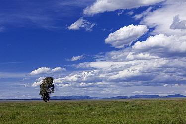 Lone tree along Antelope Flats Road, Grand Teton National Park, Wyoming, USA, June.