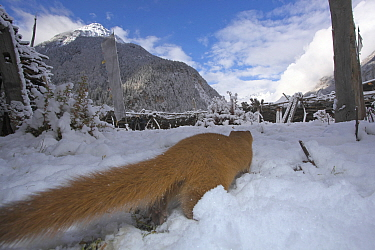Siberian weasel (Mustela sibirica) foraging in snow, Basongcuo National Park, Tibet,   November.