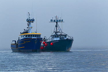 Salmon tenders 'Majestik' and 'Fierce Leader' these boats transfer fish from fishing boats to the canneries so the boats can continue fishing. Neets Bay, Alaska,  The boats are the Maj...