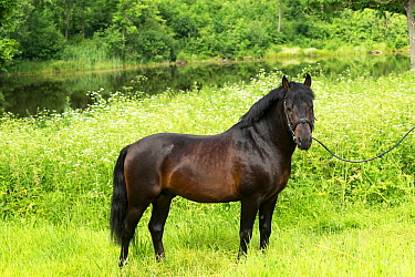 Rare Zemaitukas sport horse  stallion shown handheld, Vilnius National Stud, Vilnius, Lithuania.