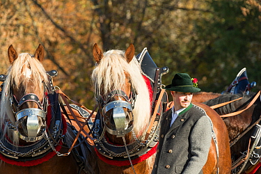 Portrait of two harnessed Suddeutsche horses and their driver during the Leonhardiritt or Leonhardifahrt, the traditional horse procession of St Leonard, in Bad Tolz, Upper Bavaria, Germany. November...