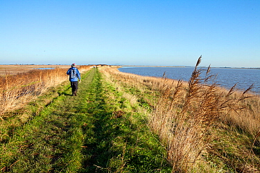 Person walking along the Steart Marshes adjoining the Bristol Channel and the River Parrett Estuary, allowed to flood on high tides to create new salt-marsh habitat, Somerset, UK, December 2014.