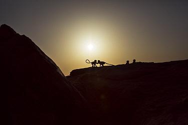 Southern plains grey langur / Hanuman langurs (Semnopithecus dussumieri) playing on the cliff tops at sunrise . Jodhpur, Rajasthan, India. March.